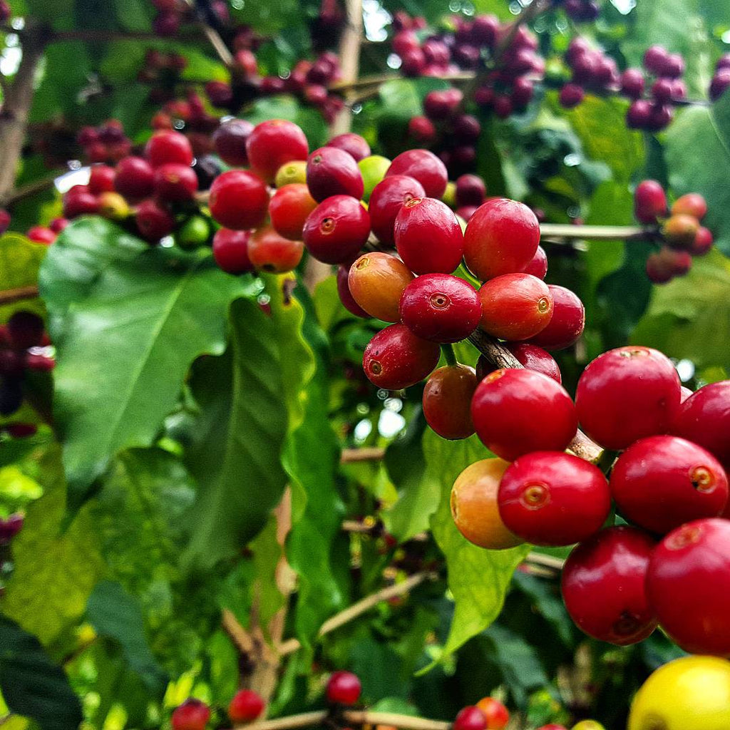 Mocina Coffee's Statement on Low Global Coffee Prices