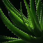 """Aloe VE"" Photography on Canvas"
