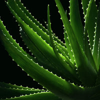 """Aloe VE"" Photo on Canvas by Nancy Roux"