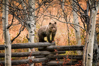 Grizzly Cub on Fence #1