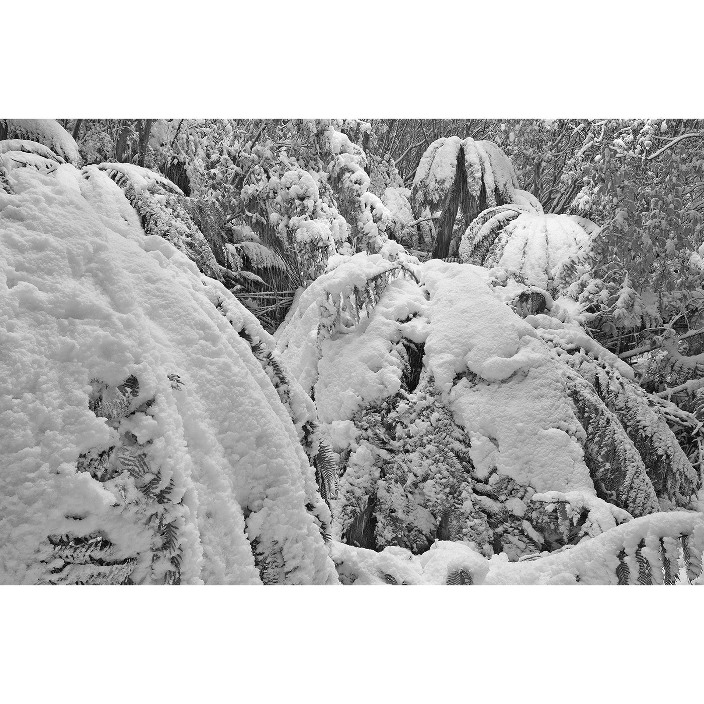 Chris Bell – Winter Snowfall on Man Ferns