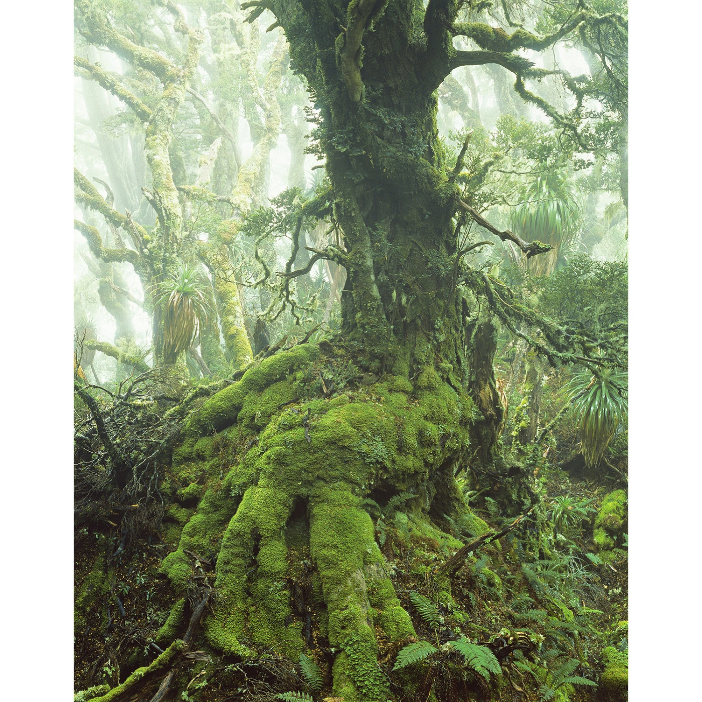 Peter Dombrovskis - Myrtle Tree