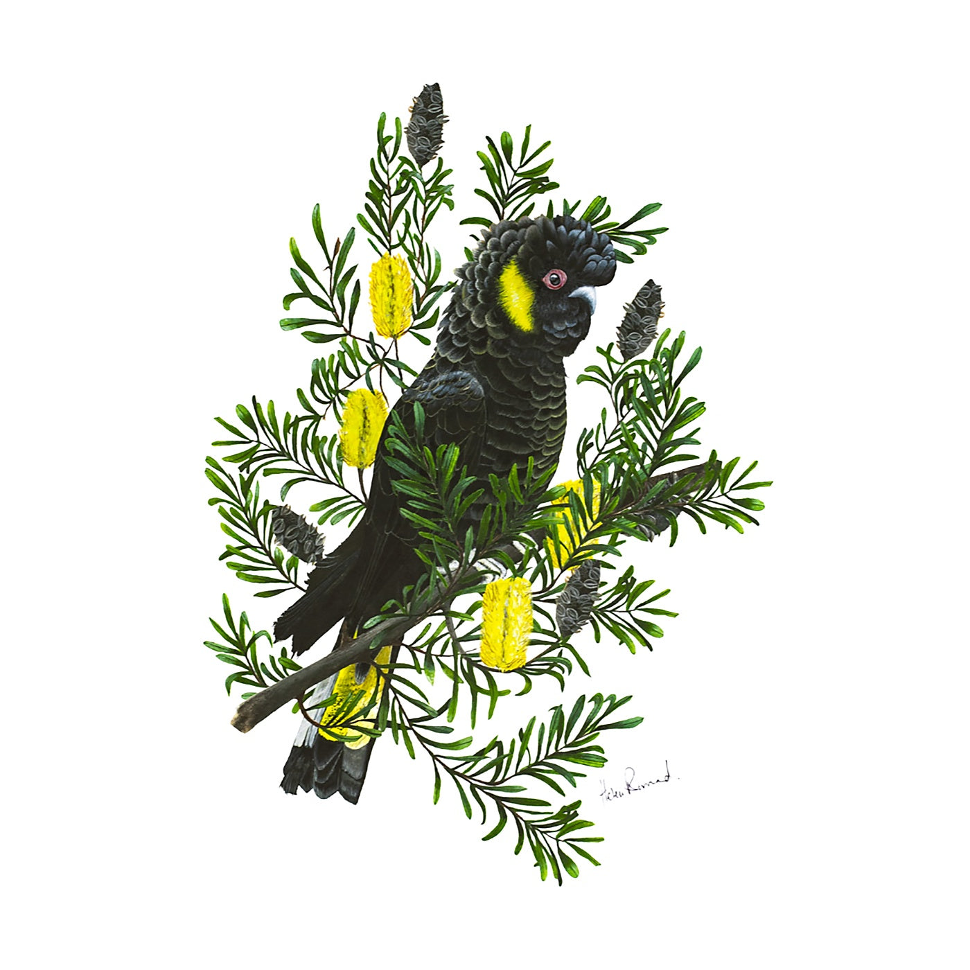 The Little Wren - Art Print - Yellow-Tailed Black Cockatoo
