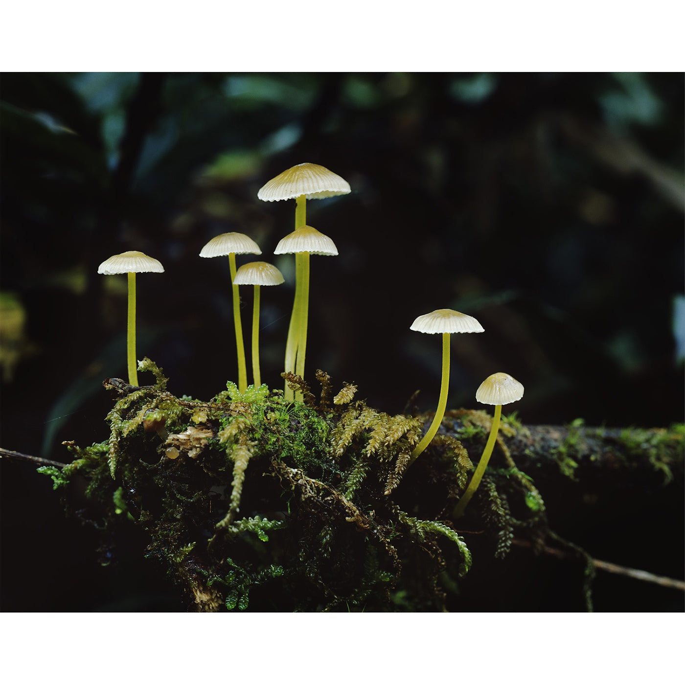 Peter Dombrovskis - Rainforest fungi, Franklin-Gordon Wild Rivers National Park