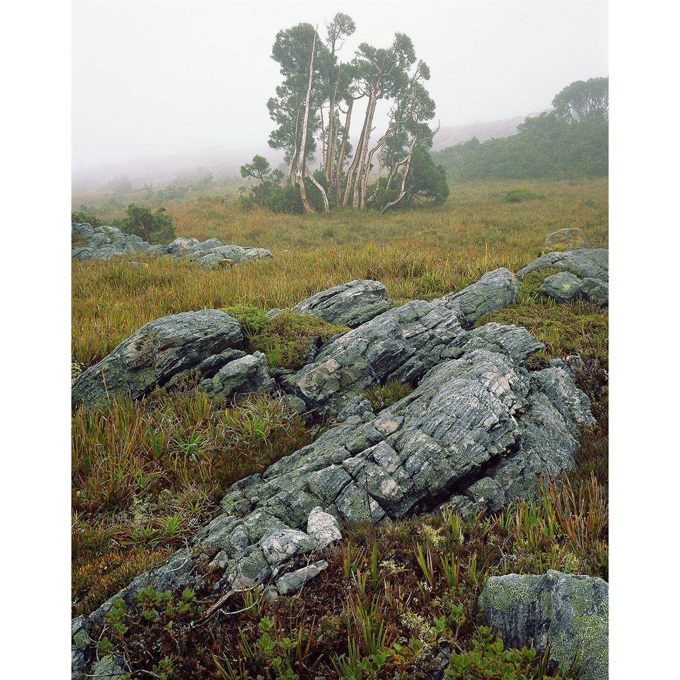 Peter Dombrovskis - Pencil Pines in mist, Southwest National Park