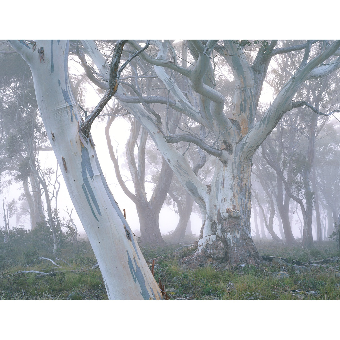 Chris Bell - Mountain White Gum in Mist