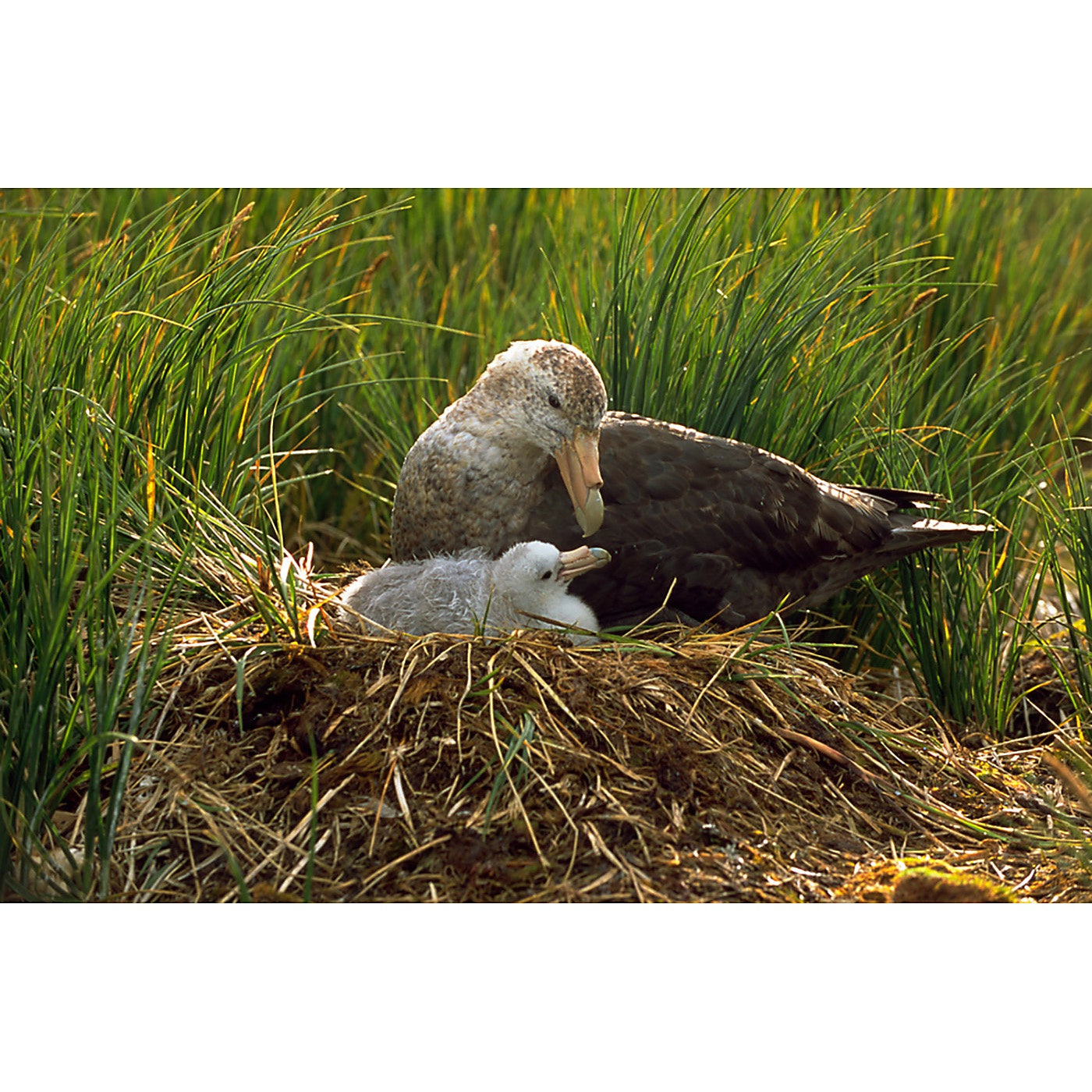 Graham Robertson - Southern Giant Petrel and Chick