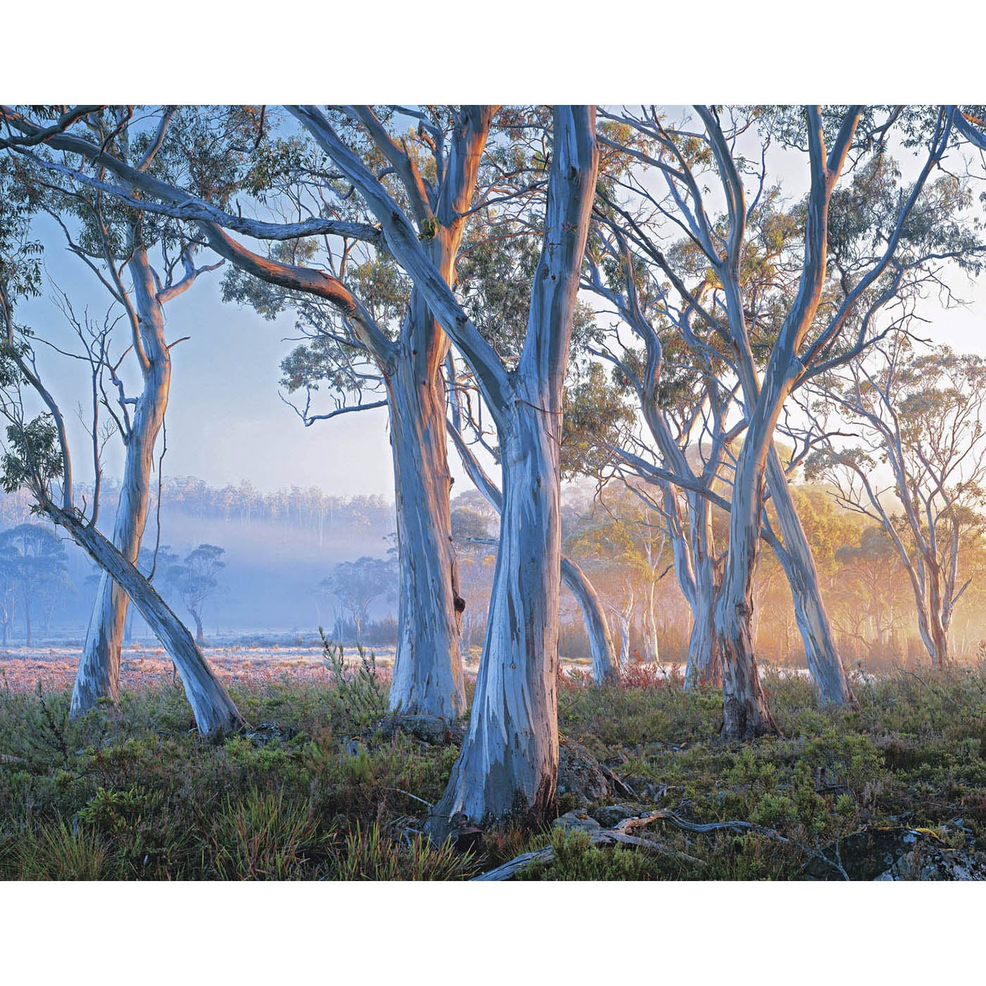 Rob Blakers - Snowgum, Navarre Plains