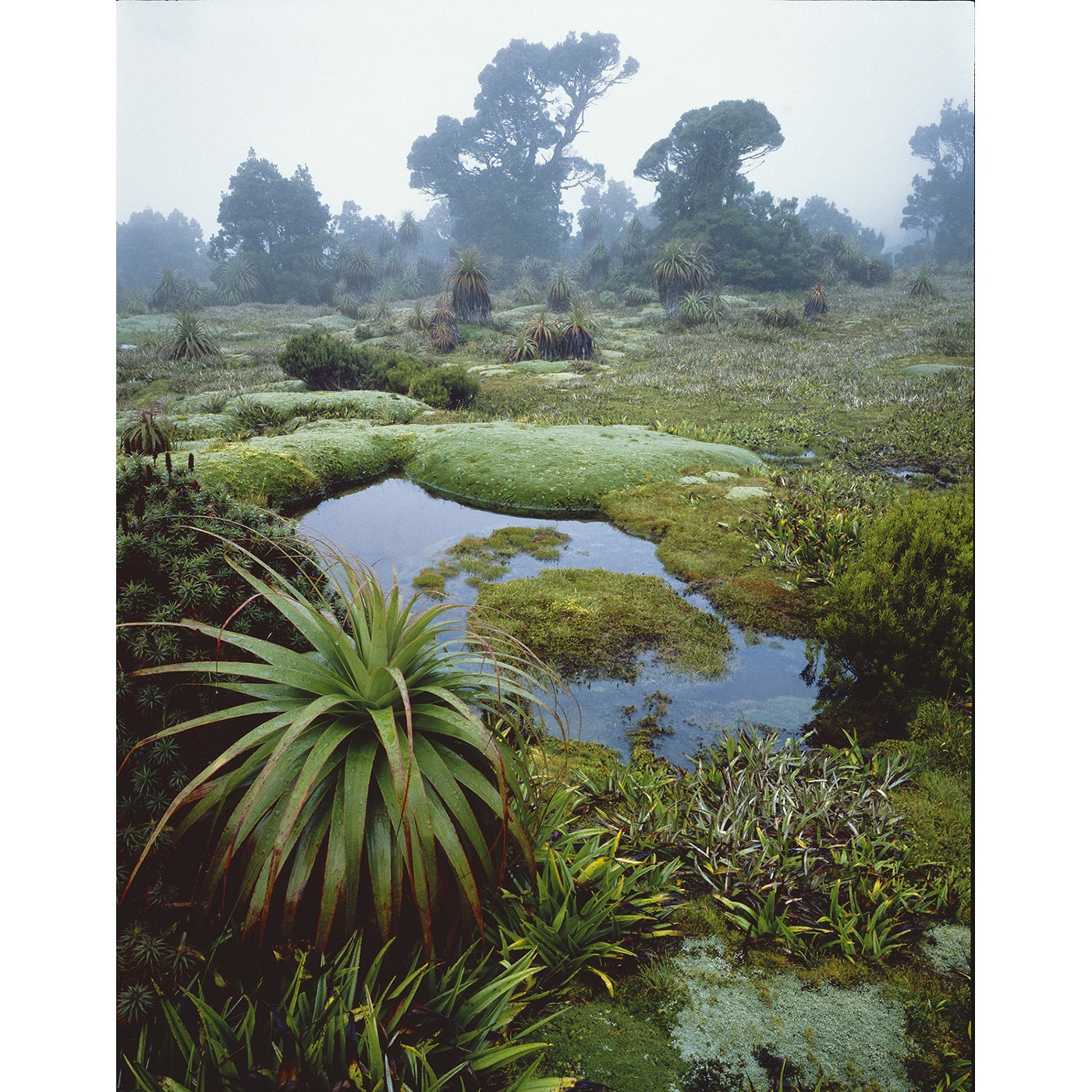 Peter Dombrovskis - Cushion Plants and Pandanis in Mist