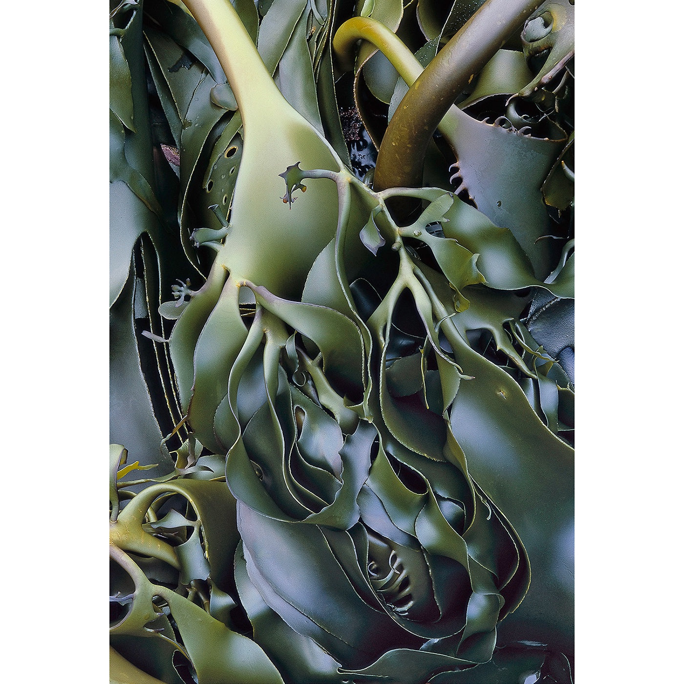 Chris Bell - Kelp, Tarkine