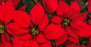 The Story of the 'Flowers That Wither' On Christmas Eve