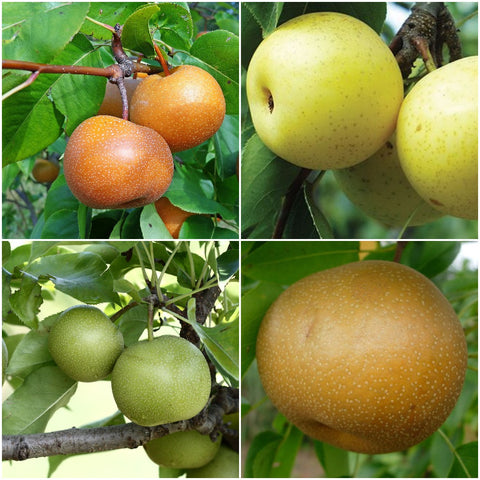 Asian Pear Trees