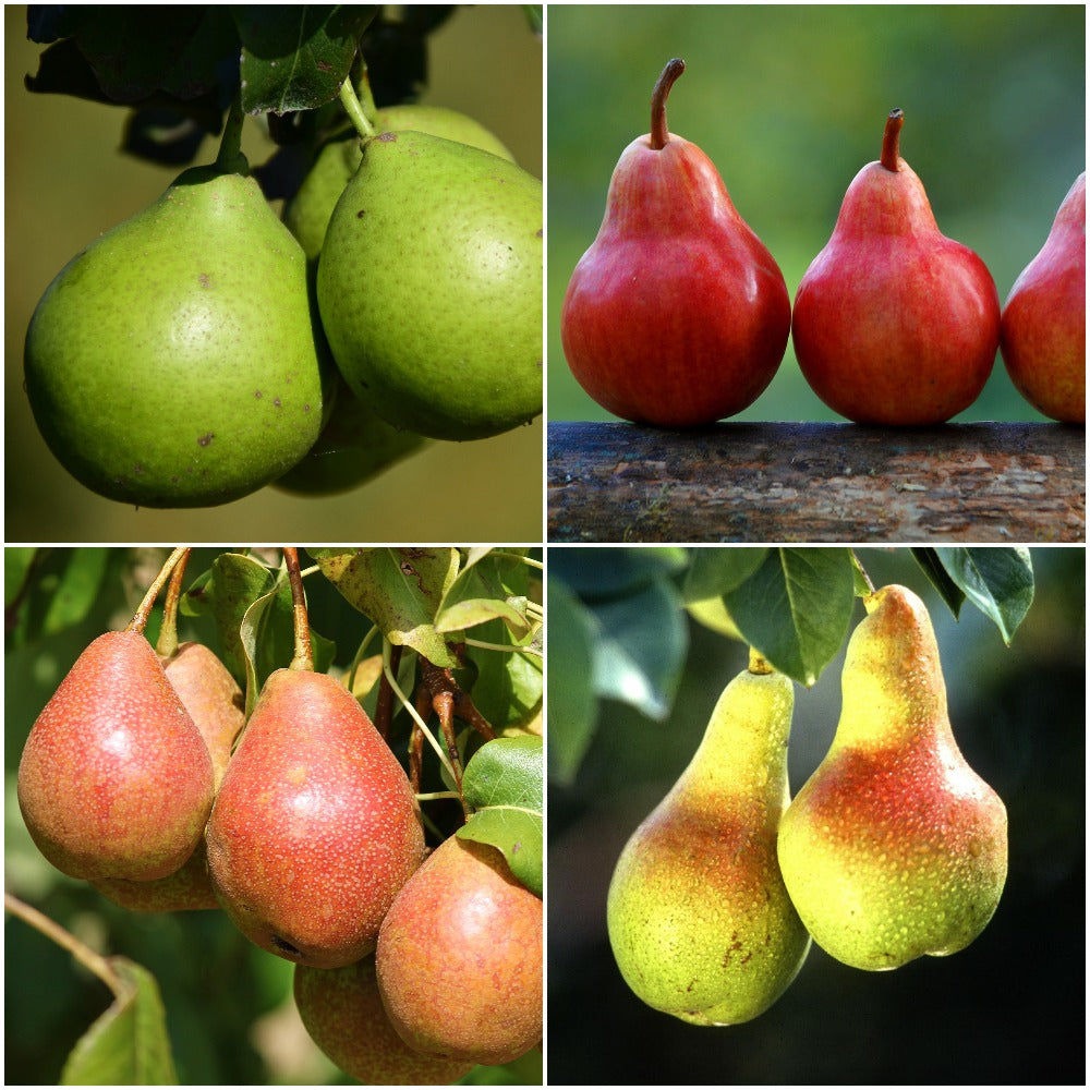 4-in-1 Pear Jubilee Tree - Different pear varieties grow on each limb! (2 years old and 5 feet tall.)