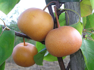 Chojuro Asian Pear Tree - Humongous butterscotch flavored fruit! (2 years old and 3-4 feet tall.)