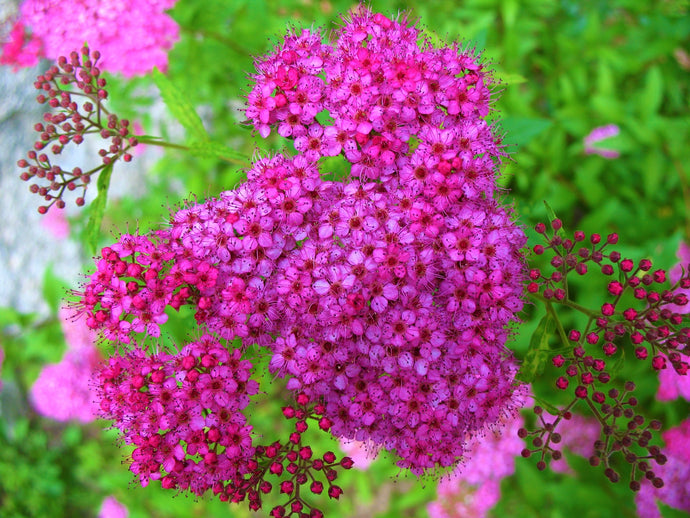 Anthony Waterer Spirea Shrub (1 Gal)- Huge pyramidal clusters of rose-pink flowers, dense spreading green foliage.