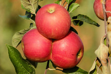 4-in-1 Apple Jubilee Tree - Different apple varieties grow on each limb! (2 years old and 3-4 feet tall.)