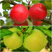 Double-Apple Twist Tree - 2 varieties of apples growing on 1 tree! (2 years old and 5 feet tall.)