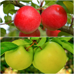 Double-Apple Twist Tree - 2 varieties of apples growing on 1 tree! (2 years old and 3-4 feet tall.)