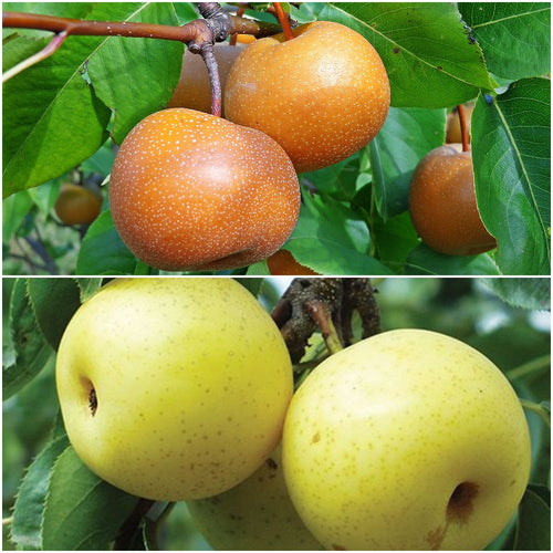 Asian Double-Pear Twist Tree - 2 different Asian Pears growing on 1 tree!