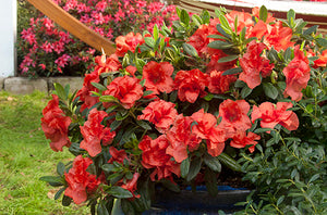 """Autumn Embers"" Encore Azalea (1 Gallon) - Deep red double-blossoms bloom spring, summer and fall!"