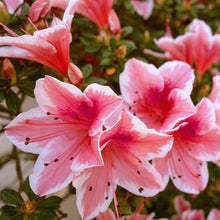 """Autumn Sunburst"" Encore Azalea (1 Gallon) - Coral pink flowers with white highlights bloom spring, summer and fall!"