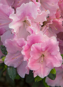 """Autumn Sweetheart"" Encore Azalea (1 Gallon) - Light pink flowers dotted with lavender freckles bloom spring, summer and fall!"