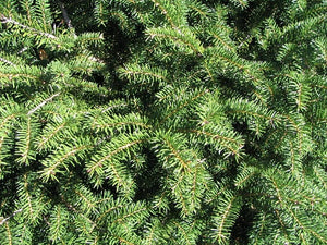 Bird's Nest Norway Spruce Shrub (1 Gal)- Hardy, uniquely shaped, low-maintenance dwarf conifer.