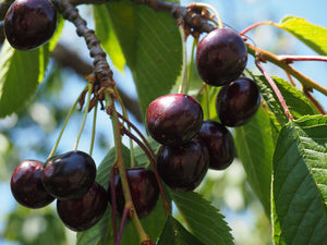 Black Pearl Cherry Tree - Among the largest and sweetest cherries! (2 years old and 3-4 feet tall.)