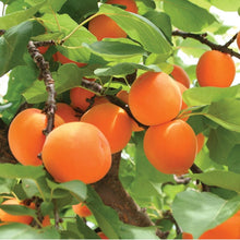 Dwarf Blenheim Apricot Tree - Richest flavor and richest history. (2 years old and 3-4 feet tall.)