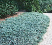 Blue Rug Juniper Shrub (1 Gal) - Unique blue shrub ideal for evergreen groundcover. Drought tolerant!