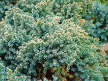 Blue Star Juniper Shrub (1 Gal) - Turquoise and silver colored, low-maintenance dwarf conifer. Drought tolerant!