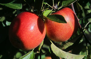 Braeburn Apple Tree - Heavy producing, easy growing autumn apple. (2 years old and 3-4 feet tall.)