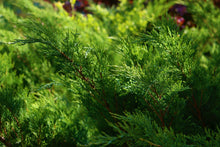 Broadmoor Juniper Shrub (1 Gal) - Excellent coniferous evergreen groundcover with graceful spreading foliage. Drought tolerant!
