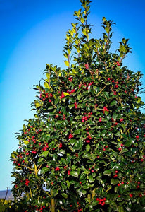 Castle Spire Blue Holly (1 Gallon) - Vigorous grower with bright red berries and tough, shiny foliage.