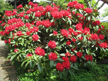 Cherries and Merlot Rhododendron (1 Gallon) - Extra bright cherry-red blossoms appear among dark bicolored foliage!