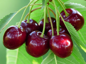 Bing Cherry Tree - Grow the worlds favorite sweet cherry, right at home! (2 years old and 3-4 feet tall)