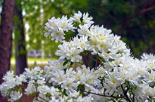 Chionoides Rhododendron Shrub (1 Gal)- Bell shaped snow-white blossoms blanket this compact shrub!