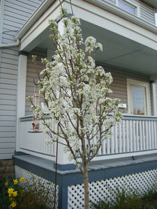 Cleveland Flowering Pear - Earliest white blossoms of spring! (2 years old and 3-4 feet tall.)