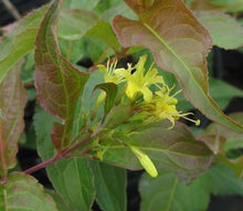 Copper Bush Honeysuckle (1 Gallon) - Brilliant yellow, nectar-filled flowers among copper and green leaves.