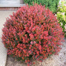 Crimson Pygmy Dwarf Japanese Barberry (1 Gallon) - Rich purple foliage, compact growth, beautiful red berries!