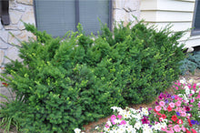 Dense Spreading Yew (1 Gallon) - This classic massive shrub can now be used as a small specimen plant!