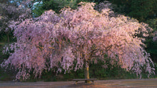 Double Pink Weeping Cherry Blossom Tree - Bright pink blossoms cascade down like a cherry blossom waterfall.  (2 years old and 4 feet tall.)