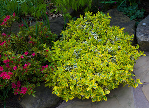 Golden-Tipped Wintercreeper Euonymus (1 Gallon) - Compact evergolden shrub, emerald leaves trimmed with gold edges!