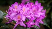 English Roseum Rhododendron Shrub- Elegant rose pink flowers bloom in large bunches of 10 or more! Cold hardy