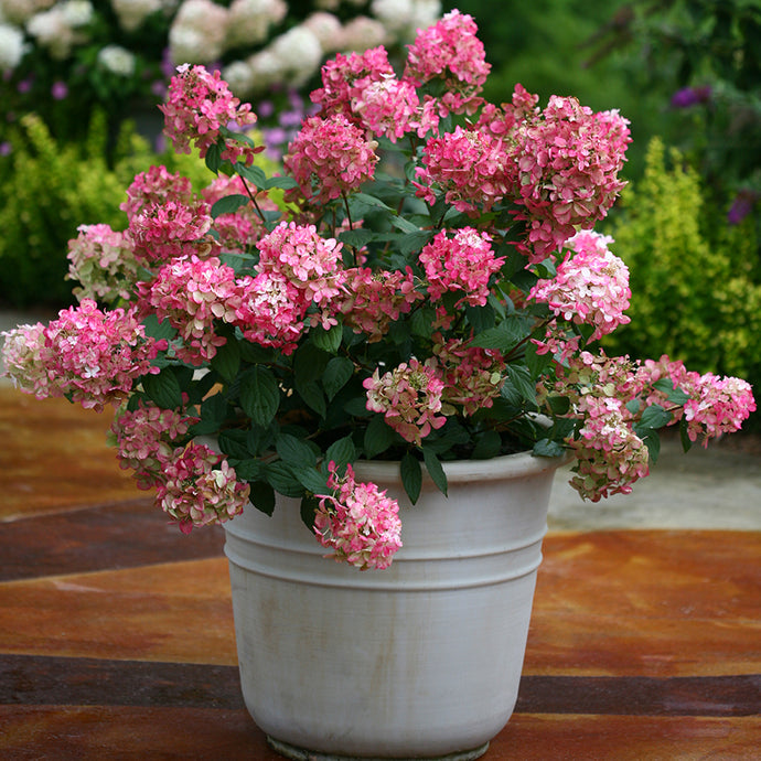 Firelight Hydrangea (1 Gallon) - Snow white florets enrich to reddish-pink in autumn! Cold hardy to -30° F
