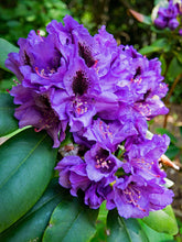 Florence Parks Rhododendron Shrub (1 Gal) - Unique violet flowers bloom in huge globe-shaped bunches!