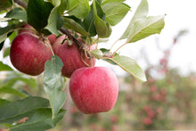 Dwarf Gala Apple Tree - One of the earliest to ripen! (2 years old and 3-4 feet tall.)