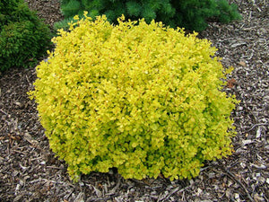 Dwarf Golden Barberry (1 Gallon) - Exceptionally bright foliage make for the perfect companion to green and purple plants!