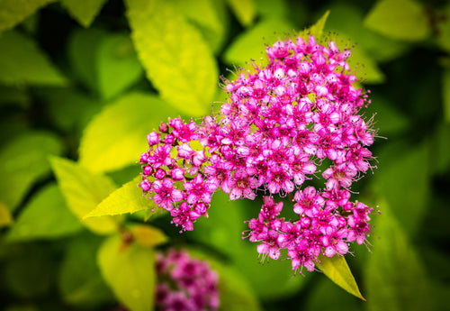 Goldflame Spirea Shrub (1 Gal) - Neon yellow foliage clashes beautifully against bright pink flowers!