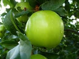 Granny Smith Apple Tree -  A true culinary delight for fresh eating, baking, and cooking! (2 years old and 3-4 feet tall.)